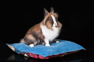 Rabbit sitting on the pillow isolated on black
