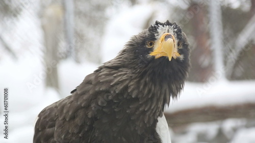 Steller's sea eagle in Novosibirsk Zoo.