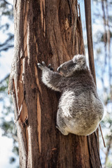 Koala bear climbing up the tree in Australia