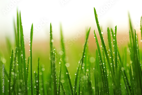 Green wet grass with dew on a blades - 60701620