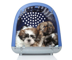 Shih Tzu puppies in plastic carrier on white background