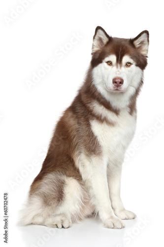 Fotobehang Wolf Siberian Husky studio portrait