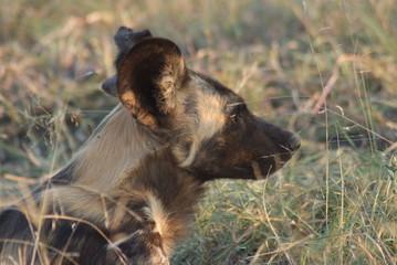 licaone parco del kruger sudafrica