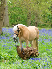 Horse In Bluebells
