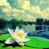 white lily float in a water