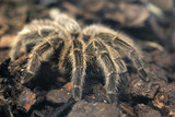 Dreadful giant tarantula