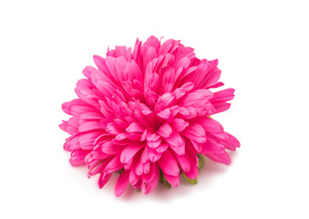 aster flower isolated