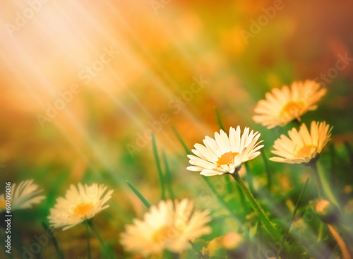 Spring daisy and sun rays