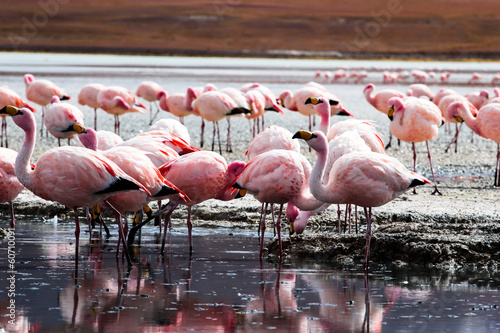 Plexiglas Flamingo Flamingos on lake in Andes, the southern part of Bolivia