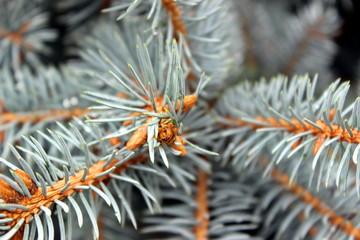 pino argentato