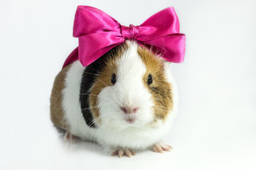 Guinea pig with a bow .