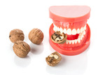 dental jaw model with walnuts