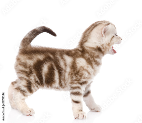 kitten meowing. isolated on white background
