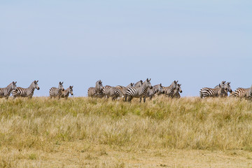 Zebras grazing in Serengeti