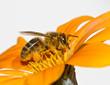 Obrazy na płótnie, fototapety, zdjęcia, fotoobrazy drukowane : abeja en la flor