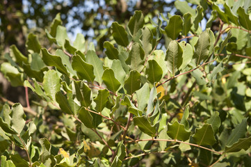 Leaves and branches of Carob tree, Ceratonia siliqua