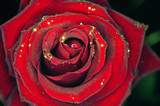 a rose with glitter on black background