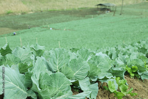 fresh cabbage in a farm
