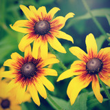 Retro photo of blooming decorative sunflowers