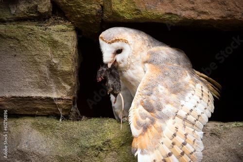 Canvas Uil Barn Owl