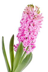 Flowering hyacinth