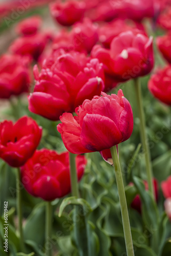 Double Red Tulips