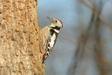 Middle Spotted Woodpecker (Dendrocopos medius) on a tree trunk