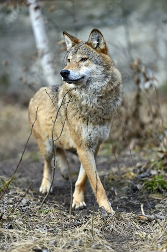 Foto op Canvas Wolf Gray Wolf in the woods