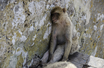 The semi-wild Barbary Macaques on  sleeping, Gibraltar, Europe