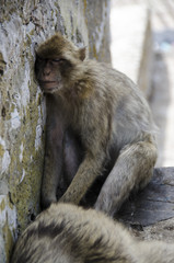 The sleeping semi-wild Barbary Macaques, Gibraltar, Europe
