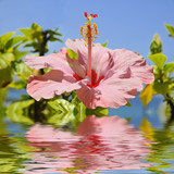Pink hibiscus flower above the water