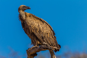 Vulture Bird Wildlife