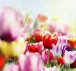 canvas print picture - tulpenblüte im licht