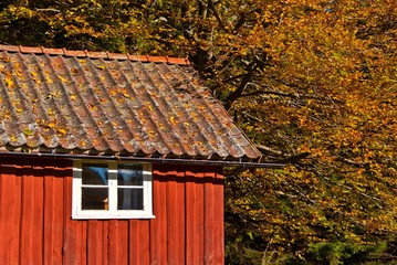 Swedish red cottage and trees with fall leaves.