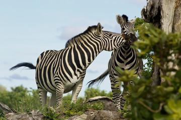Zwei spielende Zebras