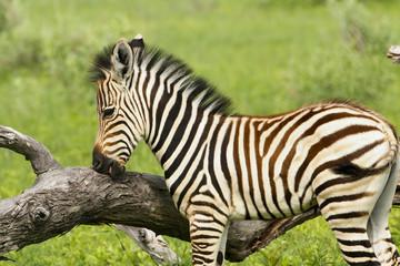 Zebrafohlen leckt am Baum
