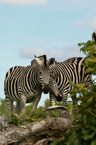 Fotobehang Zebra Zwei Zebrafreunde