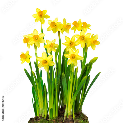 Papiers peints Narcisse Osterglocken vor weißem Hintergrund