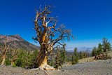 NV-Mt. Charleston-Bristlecone Pine