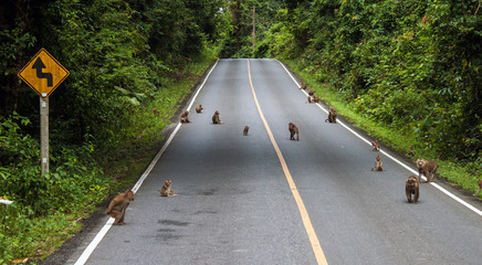 Macaques on a road at Khao Yai National Park, Thailand