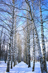 Winter park, scenery with Birch with covered snow branches