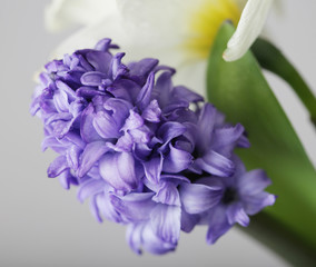blue hyacinth and white narcissus