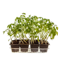 Young tomato sprouts