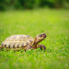 Turtle on a grass