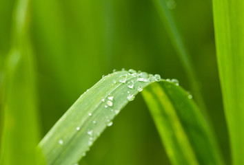 Morning dew on green blade