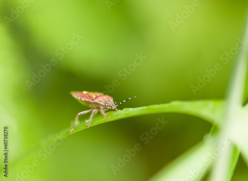Macro of shield bug