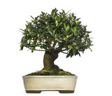 Olive bonsai tree, Olea europaea, isolated on white