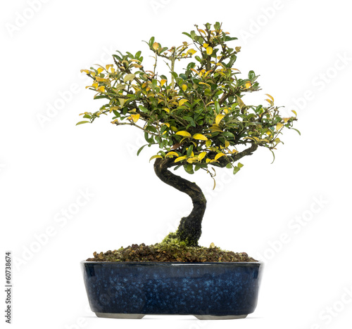 Foto op Plexiglas Bonsai Honeysuckle bonsai tree, Lonicera caprifolium, isolated on white