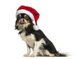 Chihuahua wearing a christmas hat, licking, sitting, isolated