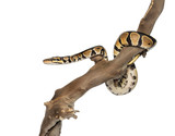 Side view of a Python regius on a branch, isolated on white